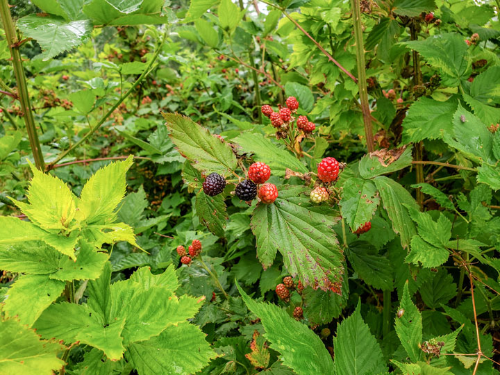 blackberries on the vine- harvesting the garden