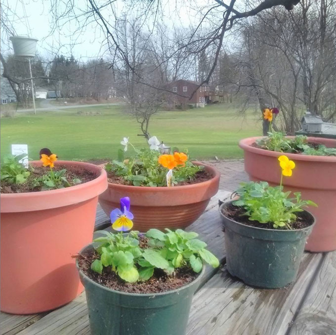 small pansies in pots on wooden board