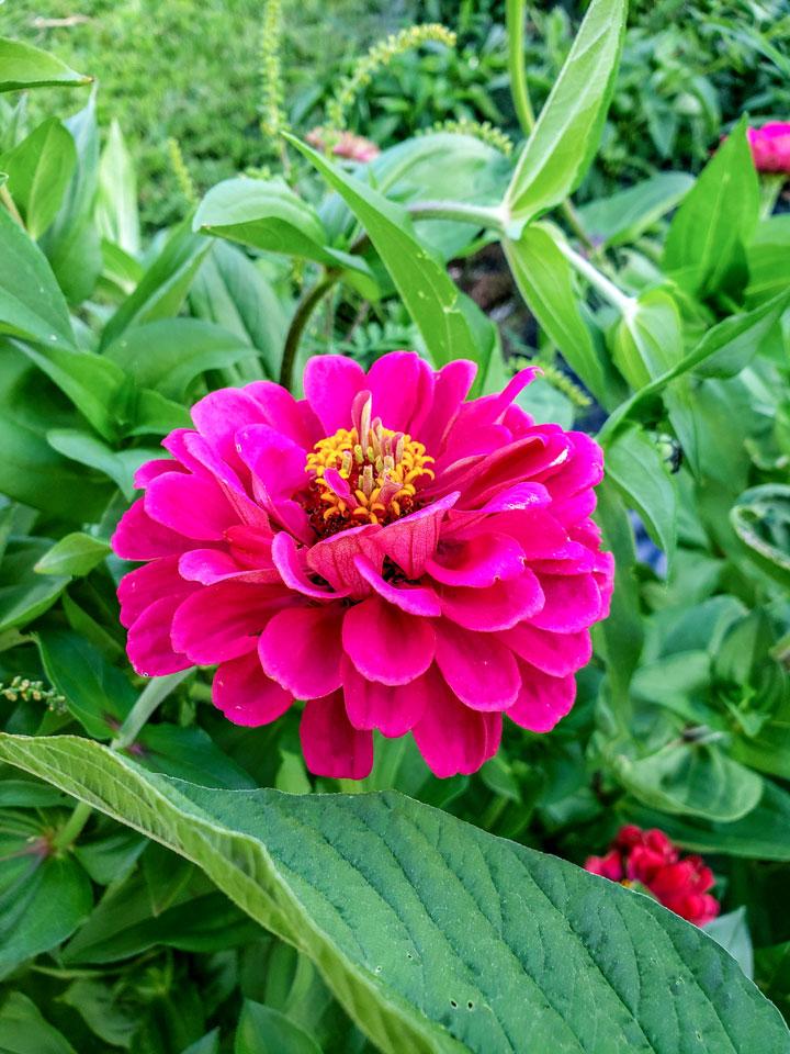 zinnia flower in large garden