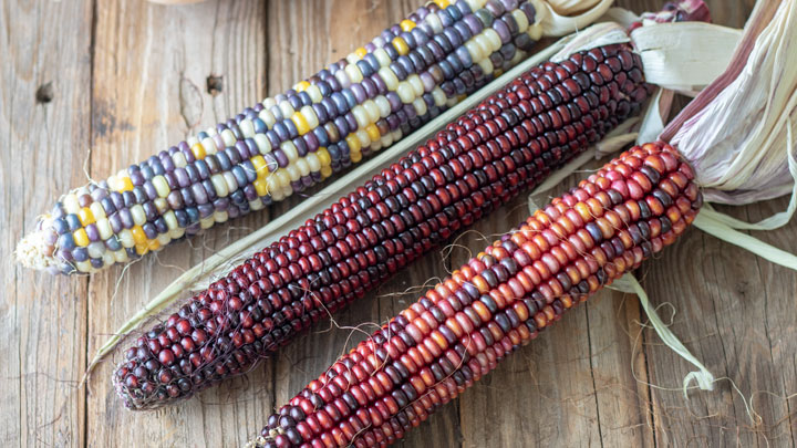 Indian corn on barnwood.
