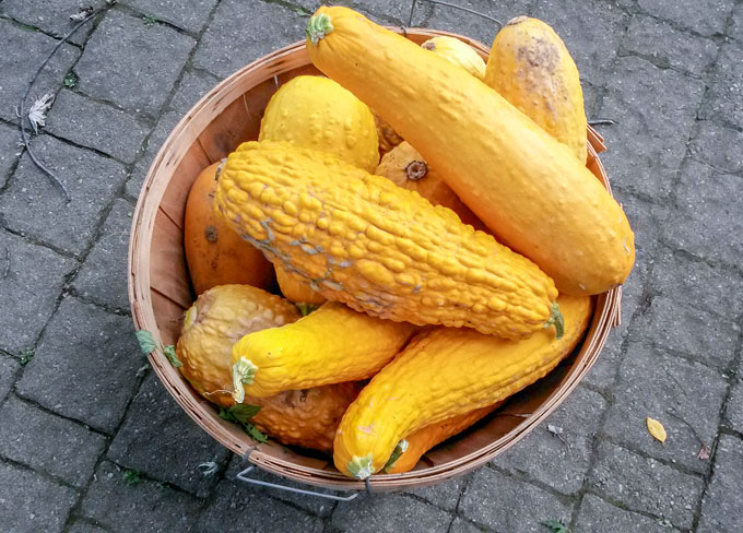 basket of huge yellow squash