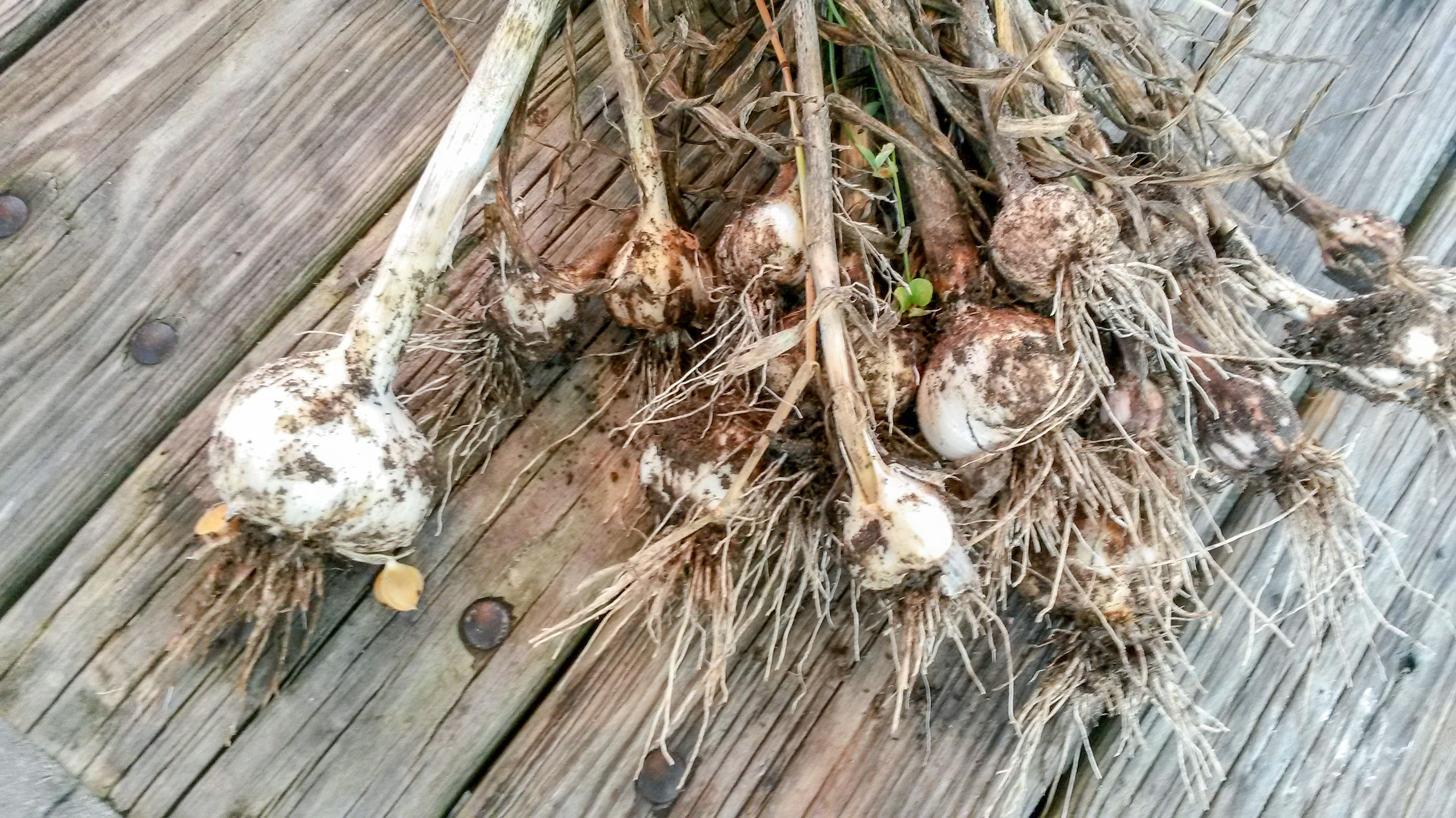 freshly picked garlic on wooden table