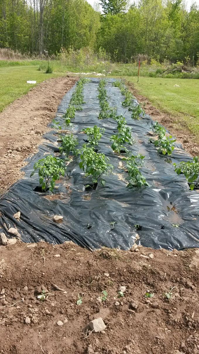 vegetable garden prepared with plastic weed blocker