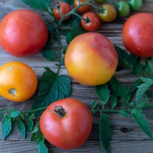 Close up of colorful tomatoes, with leaves on barnwood board.