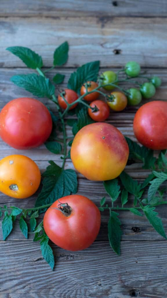 Mixed tomatoes on barnwood. board with leaves.